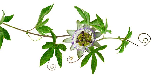 passionflower-vine